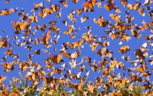 25_02_2014_monarch-butterfly-migration_GalleryMedium