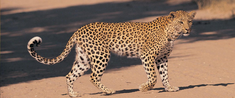 amur_leopard_2-1500x630