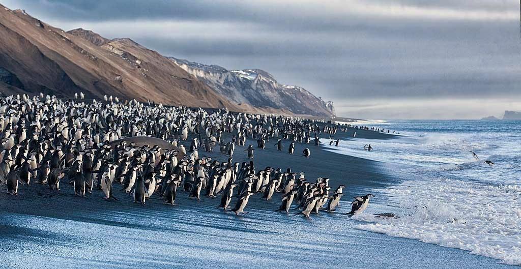 chinstrap-penguins-on-black-sand-beach