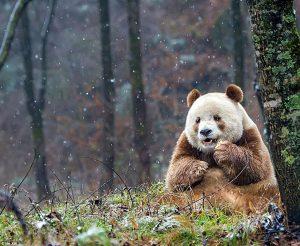 bamboo, He Xin, the seventh son, Qizai, Foping Panda Valley, Pandas, internet battle. Brown Panda Qizai,