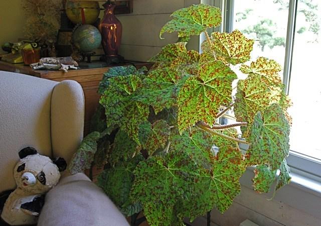marmaduke-begonia